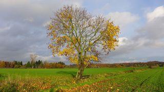 Ahornbaum - Ahorn, Herbst, Blätter