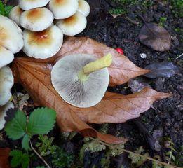 Rauchblättriger Schwefelkopf - Pilzunterseite#2 - Pilz, Lamellen, Blätter, Schwefelkopf, Speisepilz, rauchblättrig, essbar