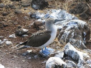 Blaufußtölpel - Blaufußtölpel, Galapagos, Vogel, Fuß, Schwimmhaut, Schwimmhäute, schwimmen, Meeresvogel, blau, Füße, Tölpel, Landwirbeltier