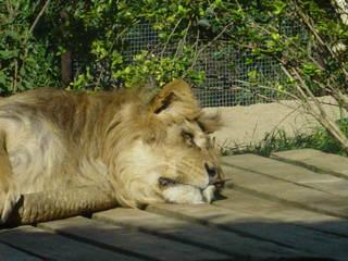 Portrait - Löwe - Tier, Zoo, müde, alt, zottelig, schlapp, Gefangenschaft, Löwe, Raubkatze