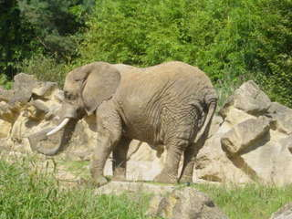 Elefant, alt - Elefant, Zoo, Biologie, Frankreich, Dickhäuter, schwer, Rüssel, grau, Stoßzahn, Elfenbein, runzlig, Runzel, Falte, faltig, stark, Afrika, Zoo, Gehege