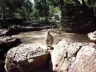 Känguru - Australien, Tier, Beuteltier, Zoo, Känguru, Gehege, Symbol, Wappentier