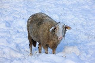 Schaf - Haustier, Wolle, Schaf, weich, Nutztier, Milch, Fleisch, Paarhufer, Wiederkäuer, Säugetier, Winter, Schnee