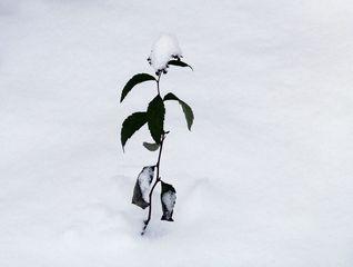 typisch Winter 2# - Winter, Frost, Eis, Wasser, Schnee, frieren, gefroren, zugefroren, Dichte, Physik, Aggregatzustand, Anomalie, Eindruck, kalt, Impression, Jahreszeit, Licht, Schatten, kalt, Kälte, winterlich, frostig, Schneedecke, einsam, allein, Pflanze