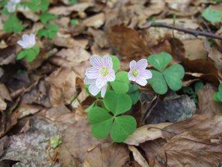 Sauerklee - Klee, Sauerklee, krautige Pflanze, Blütenstand