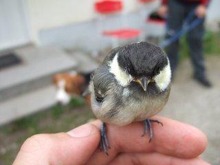 Kohlmeise - Meise, Kohlmeise, Vogel, Singvogel