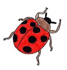 Marienkäfer - Käfer, Marienkäfer, krabbeln, Insekt, Anlaut K, Illustration