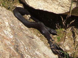 Höllenotter - Höllenotter, Schlange, Kreuzotter, Natter, Giftschlange, schwarz, Schuppenkriechtier, Naturschutz