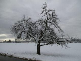Verschneiter Apfelbaum - Schnee, Winter, Baum, Apfelbaum, Einsamkeit, verschneit, Stille, Wetter