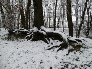 Baumwurzeln - Baum, Wurzel, Holz, Wald, Zeitabschnitt, Winter, Schnee