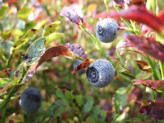 Heidelbeere - Heidelbeere, Blaubeere, Beere, Tau, Tautropfen, Heidekrautgewächs