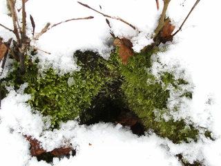 Moos unter einer Schneehaube - Moos, Pflanze, grün, Winter, Kalt, Schnee, immergrün