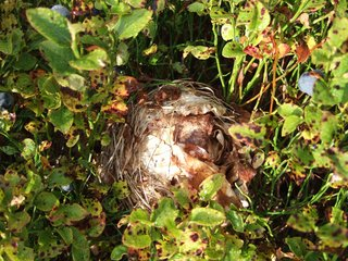 Nest der Rötelmaus - Rötelmaus, Nest, Maus, Behausung, Forstschädling, Schädling, Wald, Nagetier