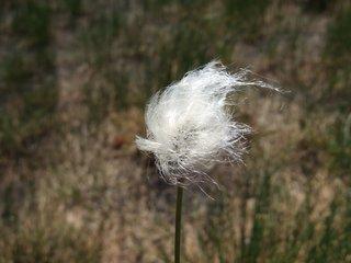 Wollgras - Wollgras, Gras, Hochmoor, Moor, einkeimblättrig, Süßgras, Sauergras, weich, weiß, Schreibanlass, zerzaust, ausgefranst