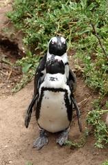 Pinguine beobachten in Bolders Beach_4 - Bolders Beach, Südafrika, Gestrüpp, Brillenpinguin, schwarz-weiß, watscheln