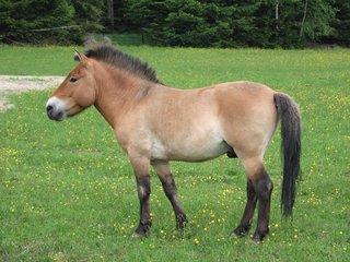 Przewalski-Pferd - Przewalskipferde, Auswilderung, Pferd, Urpferd, Wildpferd, Unpaarhufer, Fell, braun, Huf, fressen, Gehege, Mähne, Schweif, Herde, Einhufer