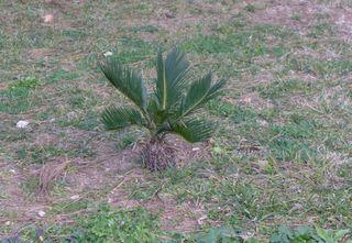Palmfarn - Palme, Pflanze, Palmenfarngewächs, Palmwedel, mediteran, giftig