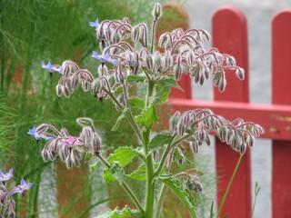 Borretsch in Blüte - Borretsch, Borago, Blüte, blau, Küchenkraut, Küchenpflanze, Gewürz, Gewürzpflanze, Heilpflanze