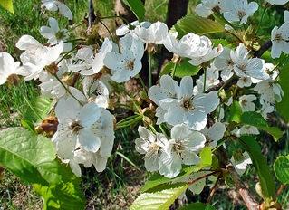Kirschblüten - Obstbaum, Zweig, Blüte, Obstbäume, Natur, Garten, Blüten, Kirsche, unterständig, Staubgefäß, Stempel, Fruchtknoten
