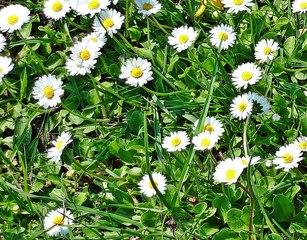 Gänseblümchen - Blüte, Blume, Pflanze, Gänseblümchen, Bellis perennis, mehrjähriges Gänseblümchen, Maßliebchen, Tausendschön, Margritli, Kleine Margerite, Bildausschnitt, Kunst