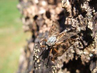 Schnepfenfliege - Insekt, Fliege, Schnepfenfliege, Hautflügler, Zweiflügler, langlebig, räuberisch