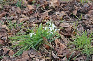 Waldschneeglöckchen #3 - Frühling, Frühjahr, Frühblüher, Zwiebelgewächs, weiß, Schneeglöckchen, Schnee, Winter, Januar, Februar, März, Schneeschmelze, Wald