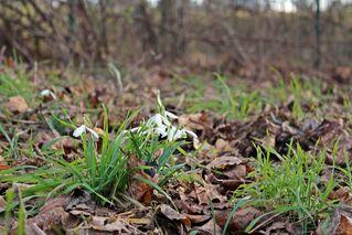 Waldschneeglöckchen #2 - Frühling, Frühjahr, Frühblüher, Zwiebelgewächs, weiß, Schneeglöckchen, Schnee, Winter, Januar, Februar, März, Schneeschmelze, Wald