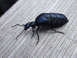 Ölkäfer - Ölkäfer, Maiwurm, Käfer, giftig, Blasenkäfer, Pflasterkäfer, Insekt, Meloidae, glänzend, glänzen