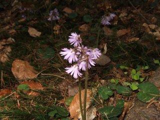 Alpenglöckchen - Alpenglöckchen, Blume, geschützt, Alpenblume, Blüte, rosa