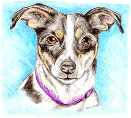 Amy - Hund, Jack Russell Terrier