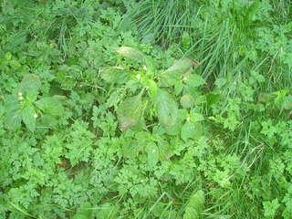 Springkraut - Blüte, Verbreitung von Früchten und Samen
