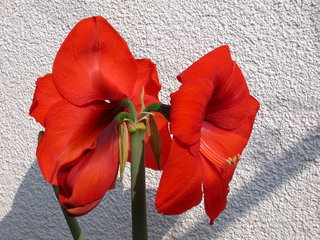 Amaryllis #2 - Amaryllis, Blüte, blühen, Blütenblatt, Zwiebelpflanze, Ritterstern, Staubblätter, Staubfaden, Staubgefäß, Staubgefäße, Stempel, rot
