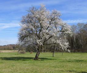 Baumblüte - Baum, Baumblüte, Frühling, Sonne, blühen, Blüte