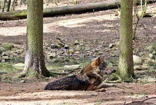 Wolf liegend - Wolf, Raubtier, wild, Der Wolf und die sieben Geißlein, Rotkäppchen und der Wolf, Rudeltier, hundeartig, Wölfe, Rudel, Freigehege, Canis lupus, Märchenfigur, Märchen, gefährlich, Mythos, Mythen