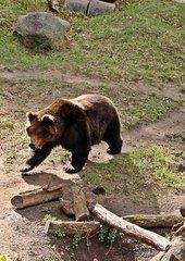 Braunbär laufend - Bär, Braunbär, Raubtier, Pelz, zottelig, braun, Wiese, liegen, ausruhen, Fell, Säugetier, brummen, Natur, Tier, Wildtier, kraftvoll, kräftig, Schnauze, Winterschlaf, Waldtier, wild, Wild, Wildtier