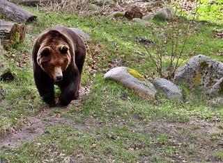 Braunbär laufend von vorn - Bär, Braunbär, Raubtier, Pelz, zottelig, braun, Wiese, liegen, ausruhen, Fell, Säugetier, brummen, Natur, Tier, Wildtier, kraftvoll, kräftig, Schnauze, Winterschlaf, Waldtier, wild, Wild, Wildtier