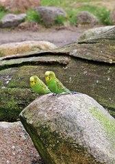 Wellensittiche sitzend - Vogel, Haustier, Liebling, Pflege, artgerechte Haltung von Tieren, Wellensittich, grün, spielen, Schreibanlass, Wellensittiche, zwei, Vögel, sitzen, frei, Papagei, Papageienart, Vogelart