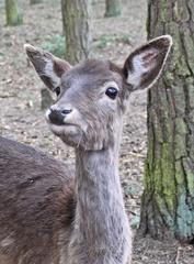 Kopf von Damtier - Damwild, Wild, Hirsch, Paarhufer, Wiederkäuer, Echte Hirsche, Damhirsch, Dama, Hochwild, Wildtier, heimische Tiere, Bast, Auge, Kopf, Hals, Ohren, Rudel, scheu
