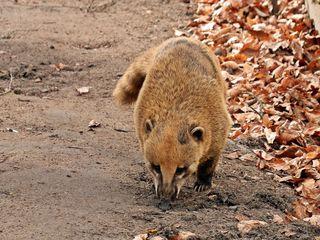 Nasenbär - Nasenbär, Raubtier, hundeartig, Nase, Südamerika, tagaktiv, klettern, Kletterer, Kleinbär, Bär, Schnauze, Fell, wild, Wildtier, klein, Rüssel