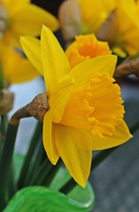 Narzissenblüte - Narzisse, Narcissus, Osterglocke, Gattung der Amaryllisgewächse, einkeimblättrig, gelb, Zwiebelgewächs, Schnittblume, blühen, Blüte, Ostern, Frühjahr, Frühling, Frühblüher