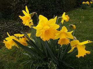 Osterglocken - Narzisse, Narcissus, Osterglocke, Gattung der Amaryllisgewächse, einkeimblättrig, gelb, Zwiebelgewächs, Schnittblume, blühen, Blüte, Ostern, Frühjahr, Frühling, Frühblüher
