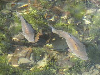 Karpfen - Karpfen, Fisch, Teich, Wasser, Cyprinus carpio, Süßwasserfisch, Weißfisch