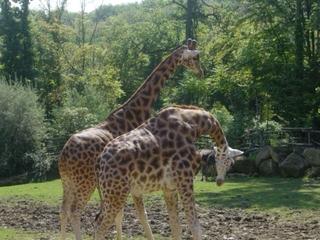 Giraffen - Wildtier, Zootier, groß, Paarhufer, Wiederkäuer, Pflanzenfresser, Afrika, Giraffe, Netzgiraffe, Afrika, Paarhufer, Tarnung, Camouflage