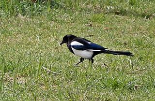 Elster auf dem Boden - Elster, diebisch, Dieb, Vogel, pica pica, Rabenvogel, Zugvogel, Singvogel, schwarz, weiß, Vögel