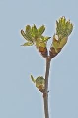 Kastaniengruß - Kastanie, Rosskastanie, Baum, Blätter, Blüten, Blütenansatz, weiß, grün, Laub, Laubbaum, Frühling, blühen, aufbrechen, Detail, klebrig, Hüllblatt, Blattknospe, Trieb, Blatt, Spross, Jungtrieb, Blütentrieb, Zweig