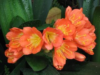 Clivienblüte - Clivie, Klivie, Riemenblatt, Amrayllisgewächse, Zwiebelpflanze, Blüte, blühen, Blütenblatt, Staubblätter, Staubfaden, Staubgefäß, Staubgefäße, Stempel, orange