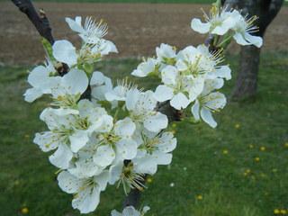 Birnbaumblüte - Blüte, Birne, Birnbaum, Frühling, Zweig