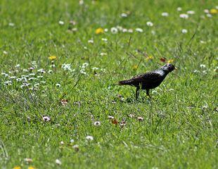 Star beim Grasen auf dem Rasen - Star, Vogel, Futtersuche, Wiese, Vögel, singen, Singvgel, Einzahl, Singular, Gefieder, Schreibanlass, einheimisch, Reim, Frühling, Frühlingswiese
