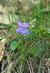 Wildes Hornveilchen im Wald - Veilchen, wild, Kraut, Hornveilchen, blau, Blüte, Pflanze, Wald, violett, lila, Frühblüher, Frühling, blühen