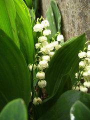 Maiglöckchen - Maiglöckchen, Frühblüher, giftig, Parfüm, Mäusedorngewächs, traubig, Blütenstand